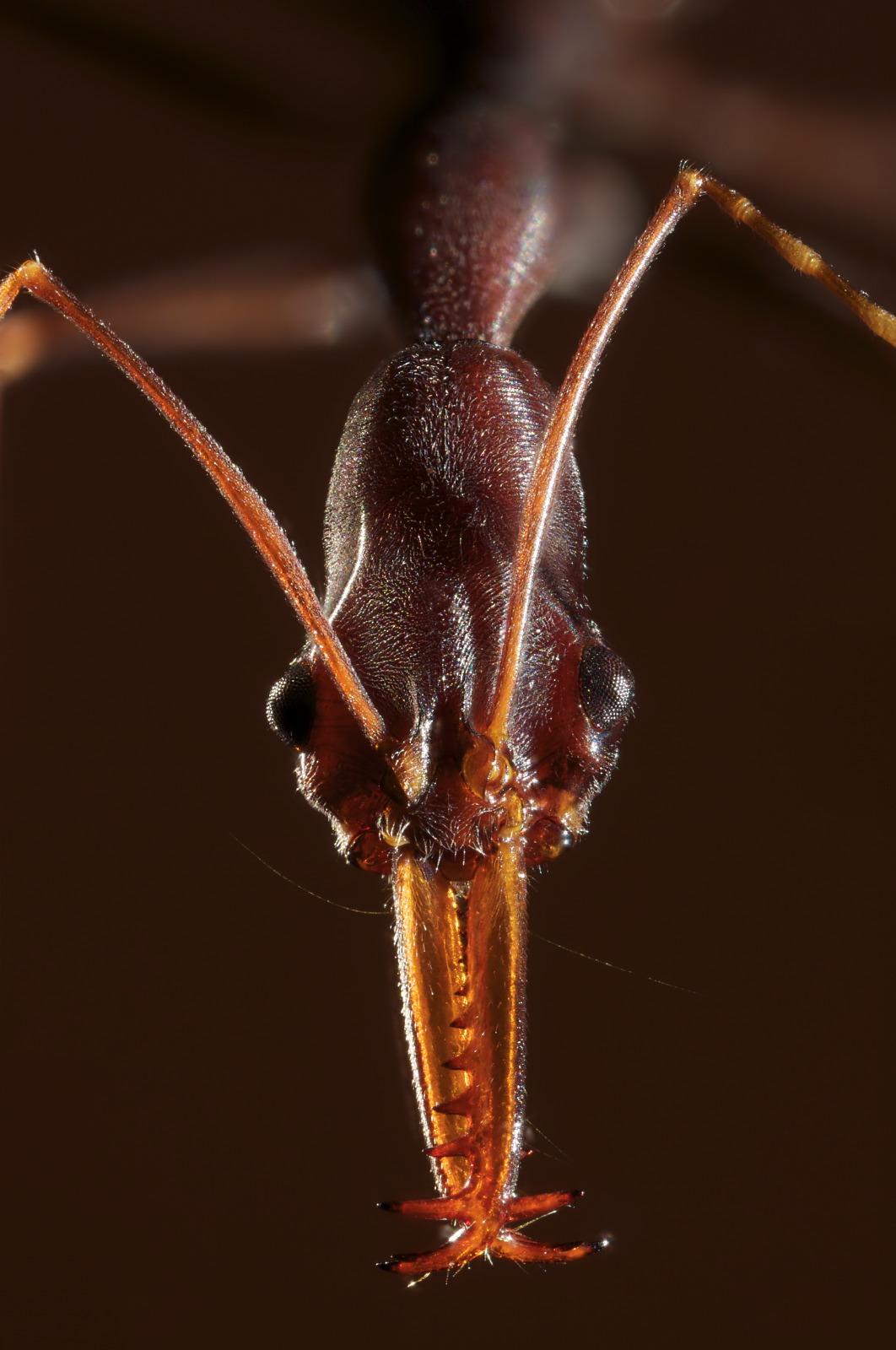 Odonthomachus