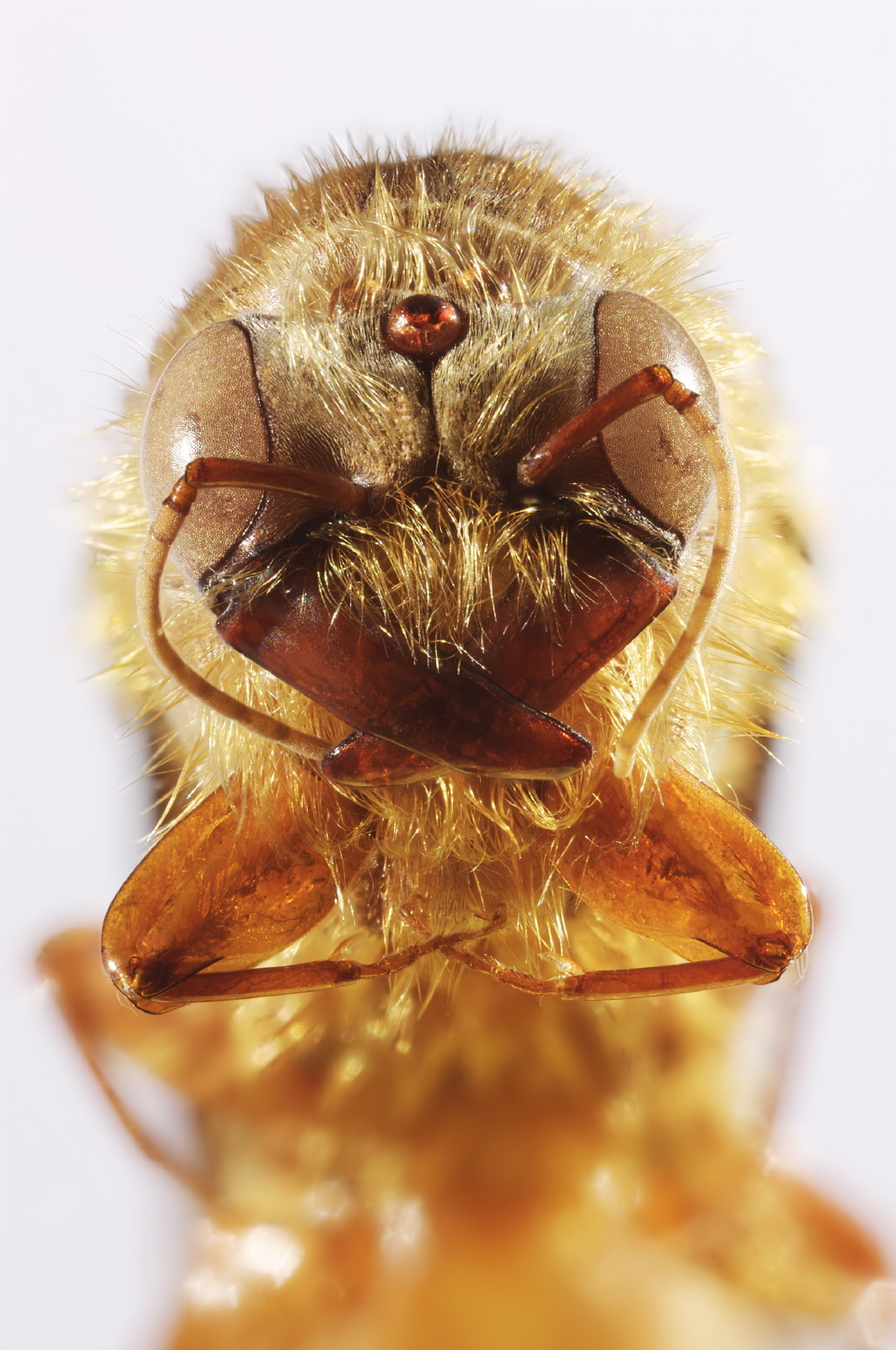 Dorylus ant portrait frontal
