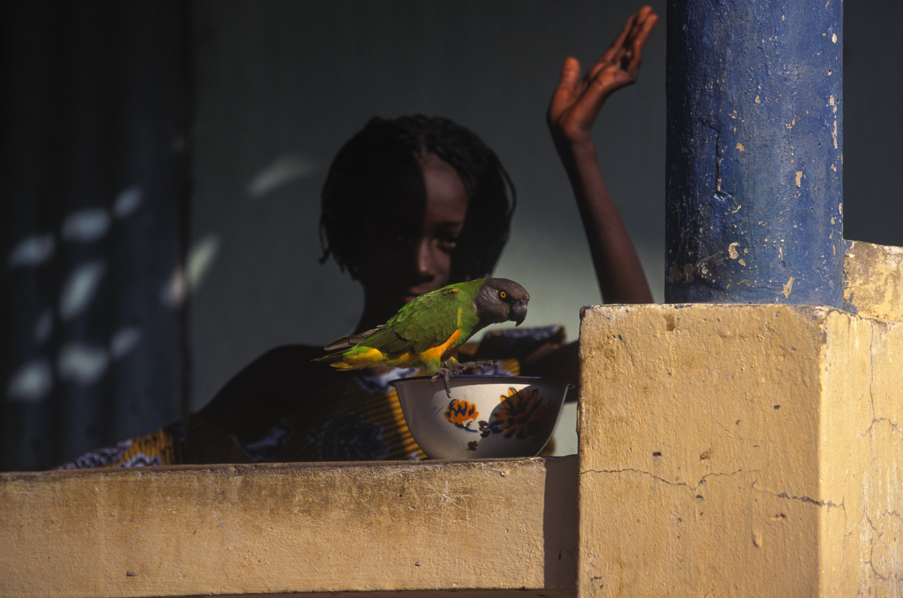 Little girl parrot's Senegal
