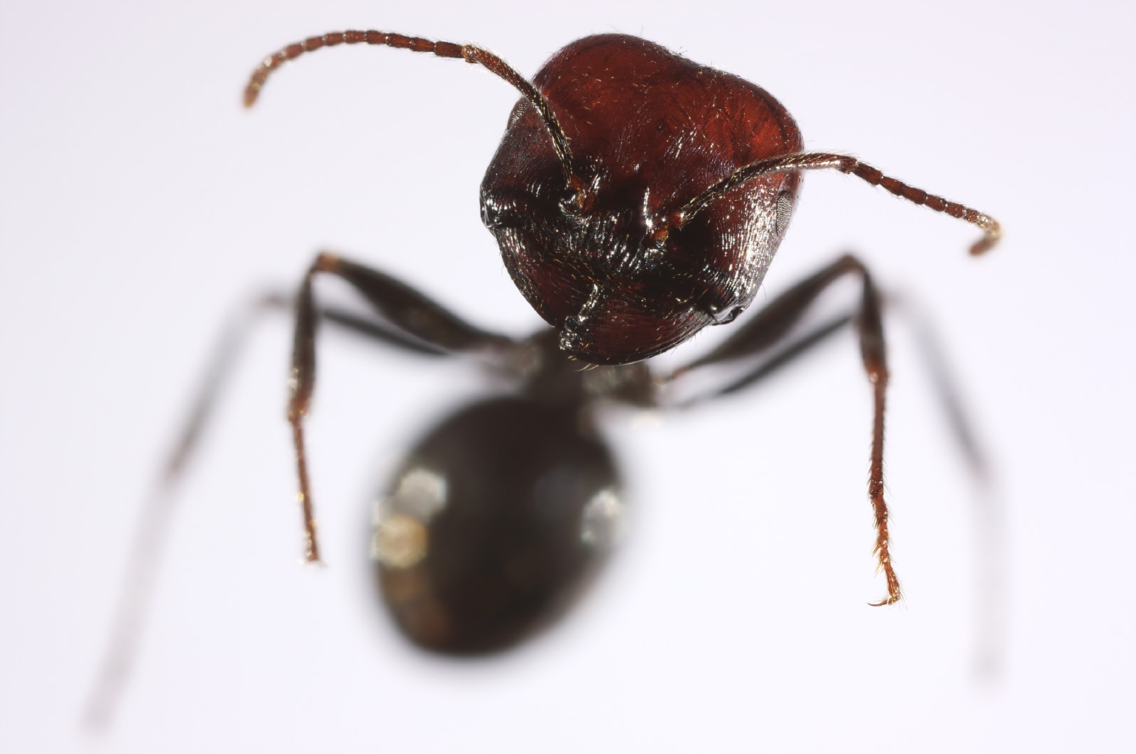Messor barbarus ant portrait frontal