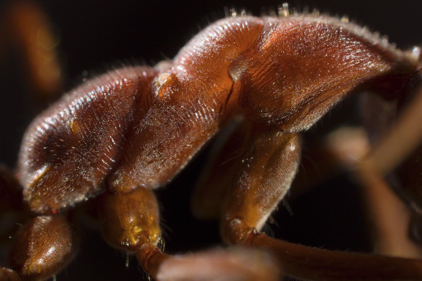 Myrmecia ant mosaic detail thorax