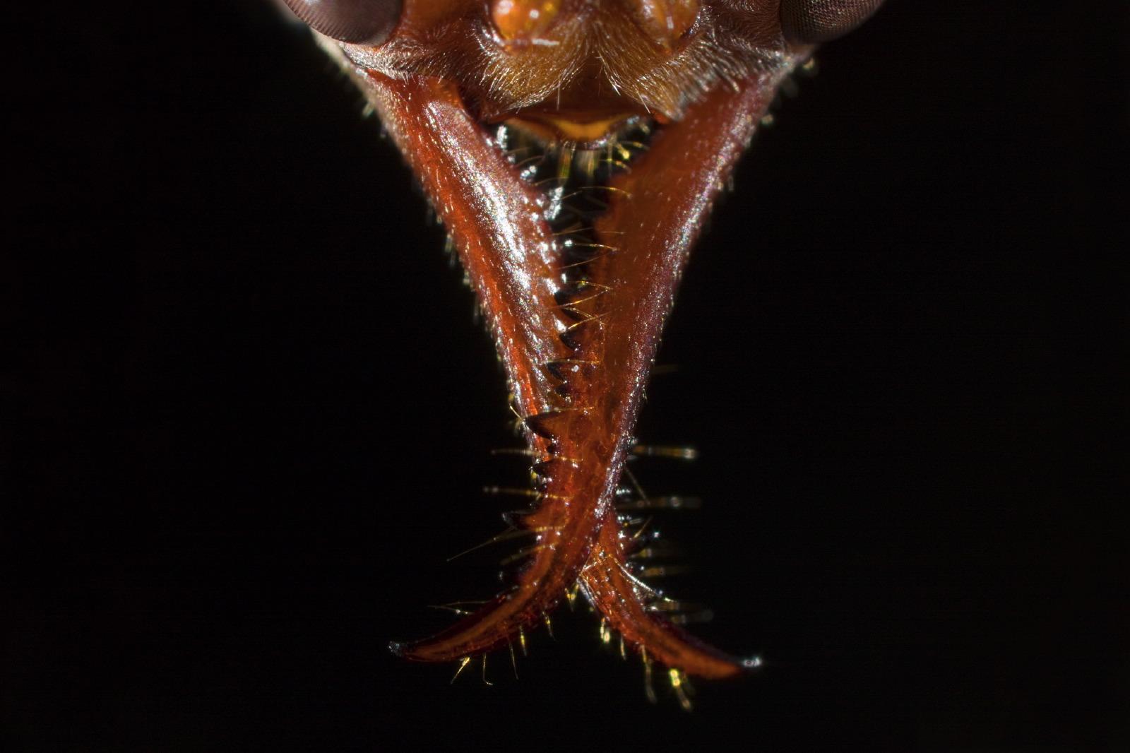 Myrmecia ant mosaic detail mandibles