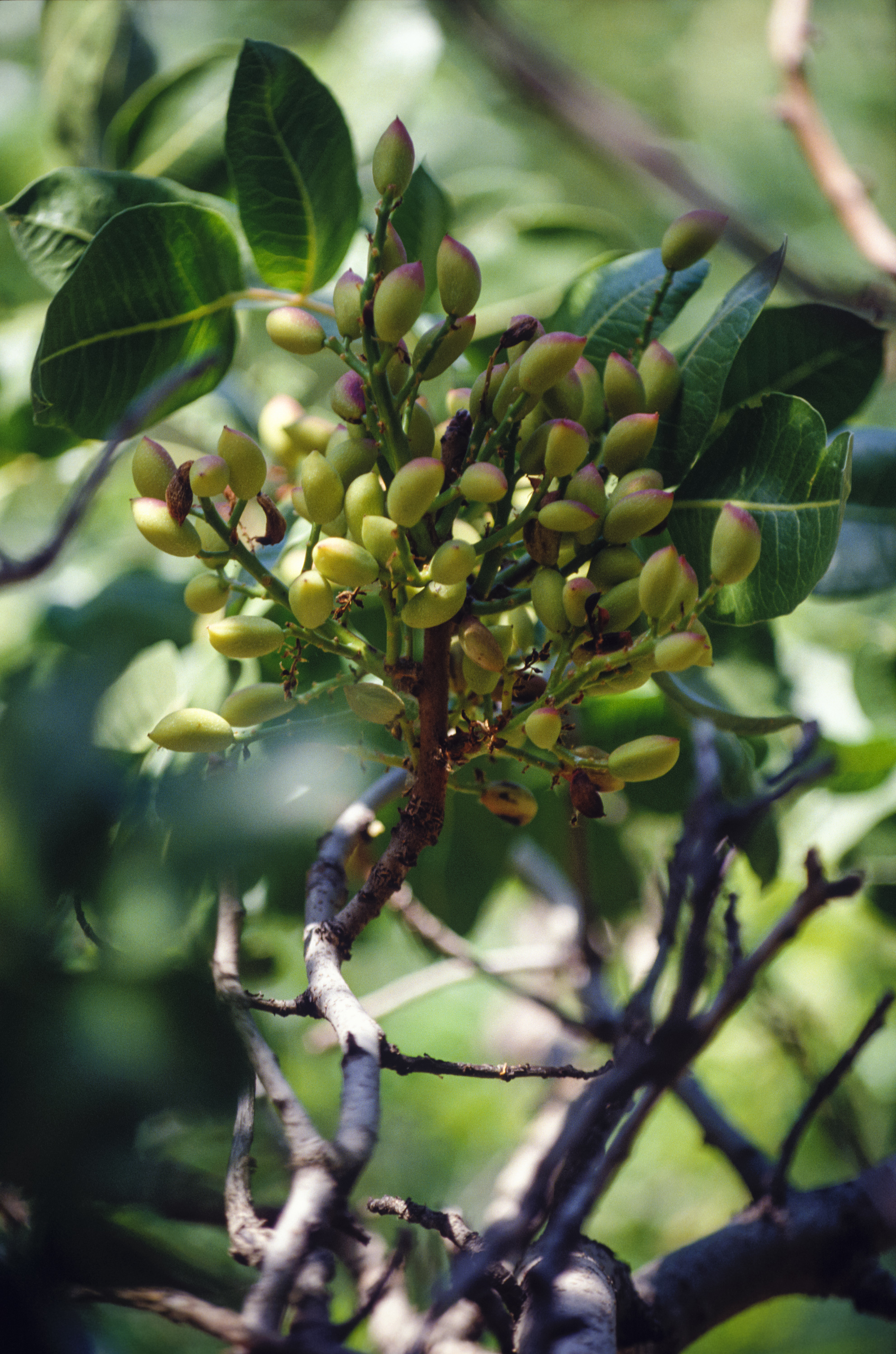 Pistachio tree branch