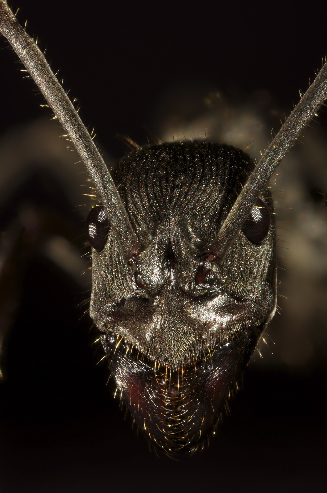 Diacamma ant portrait frontal