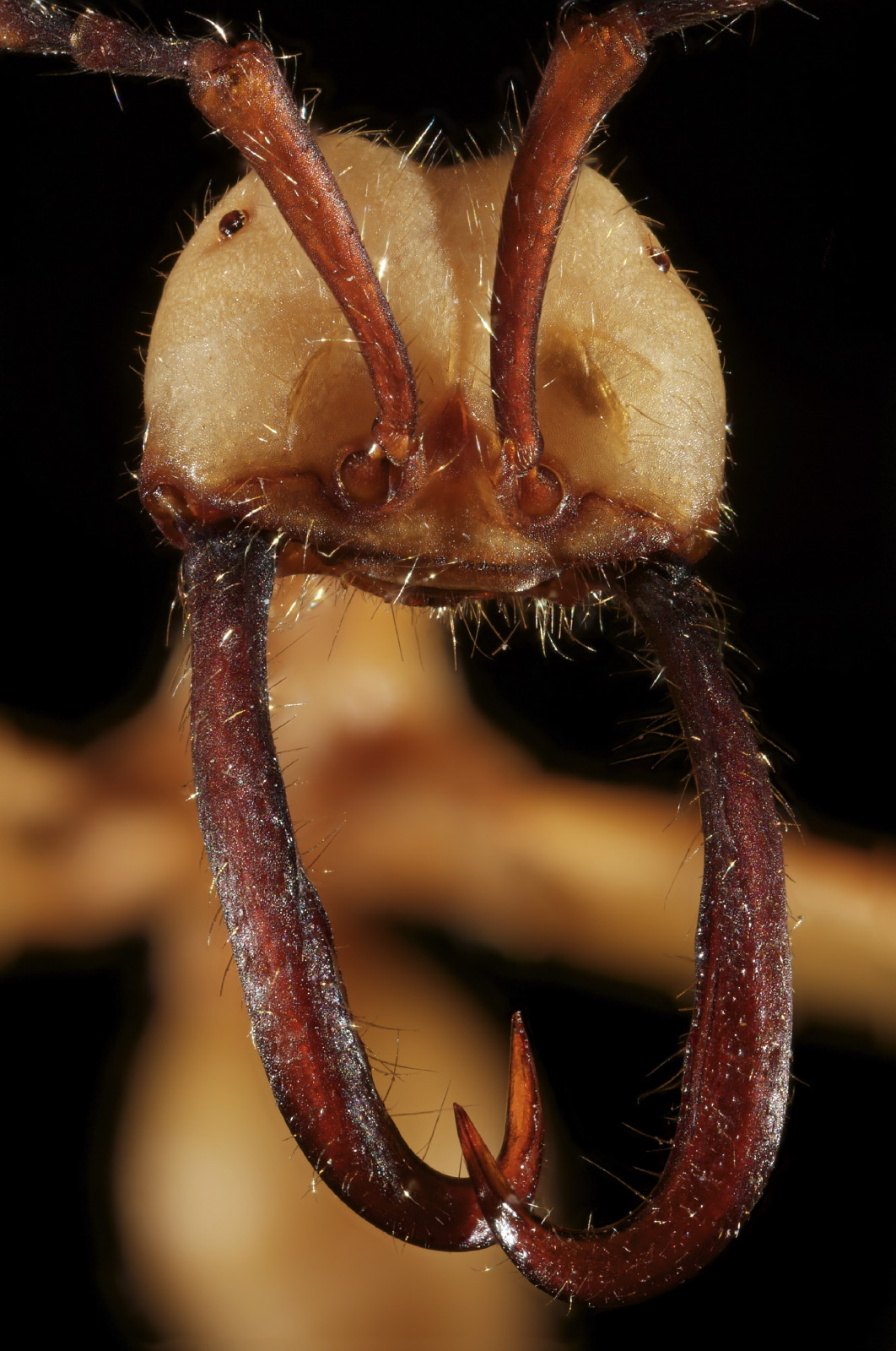 Eciton ant portrait frontal