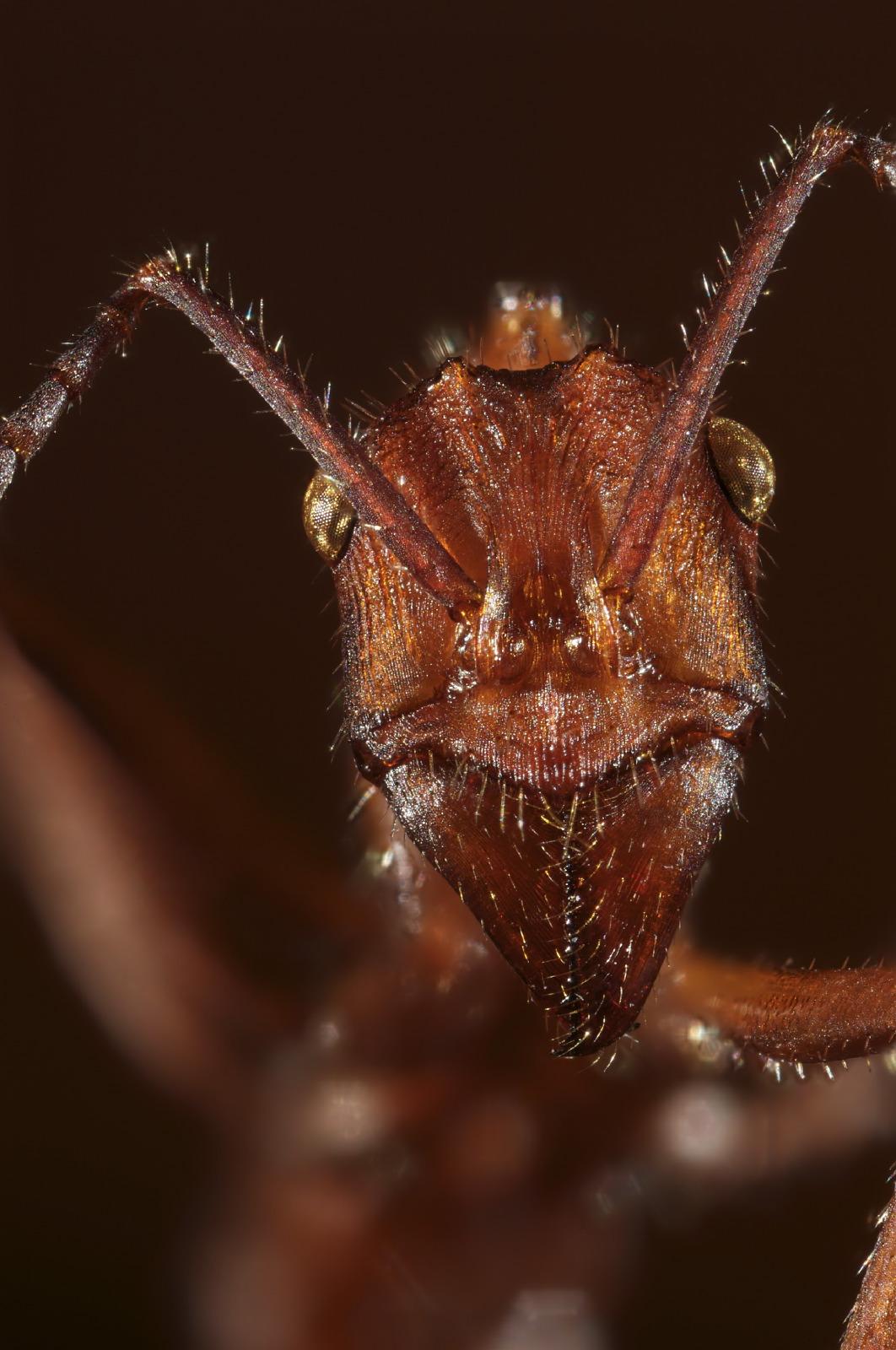 Ectatomma ant portrait
