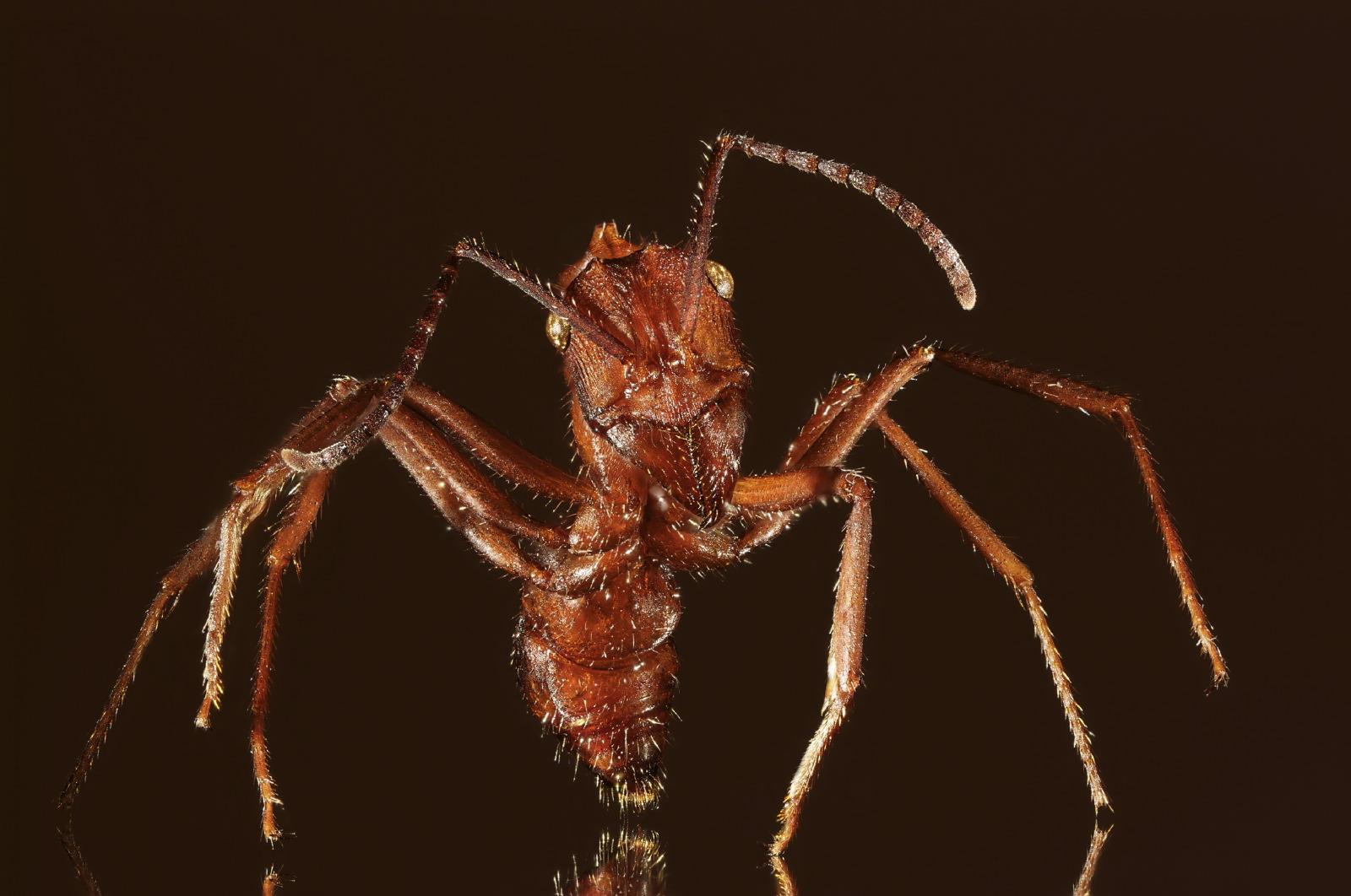 Ectatomma ant full body