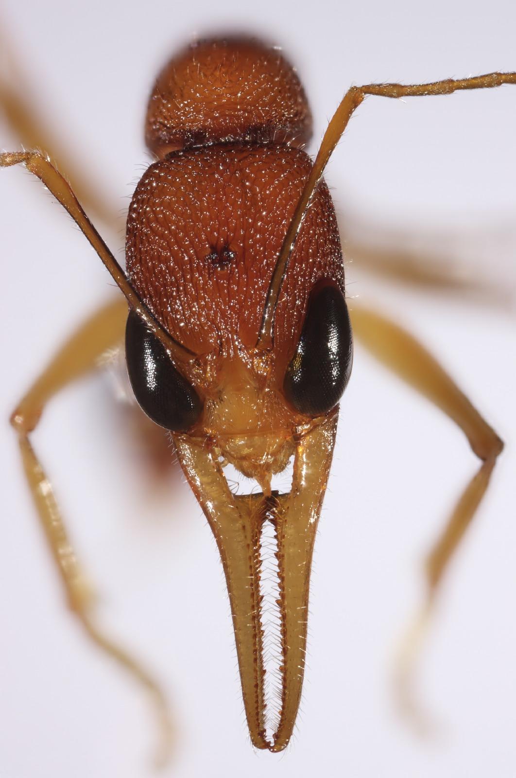Harpegnathos ant portrait frontal 2