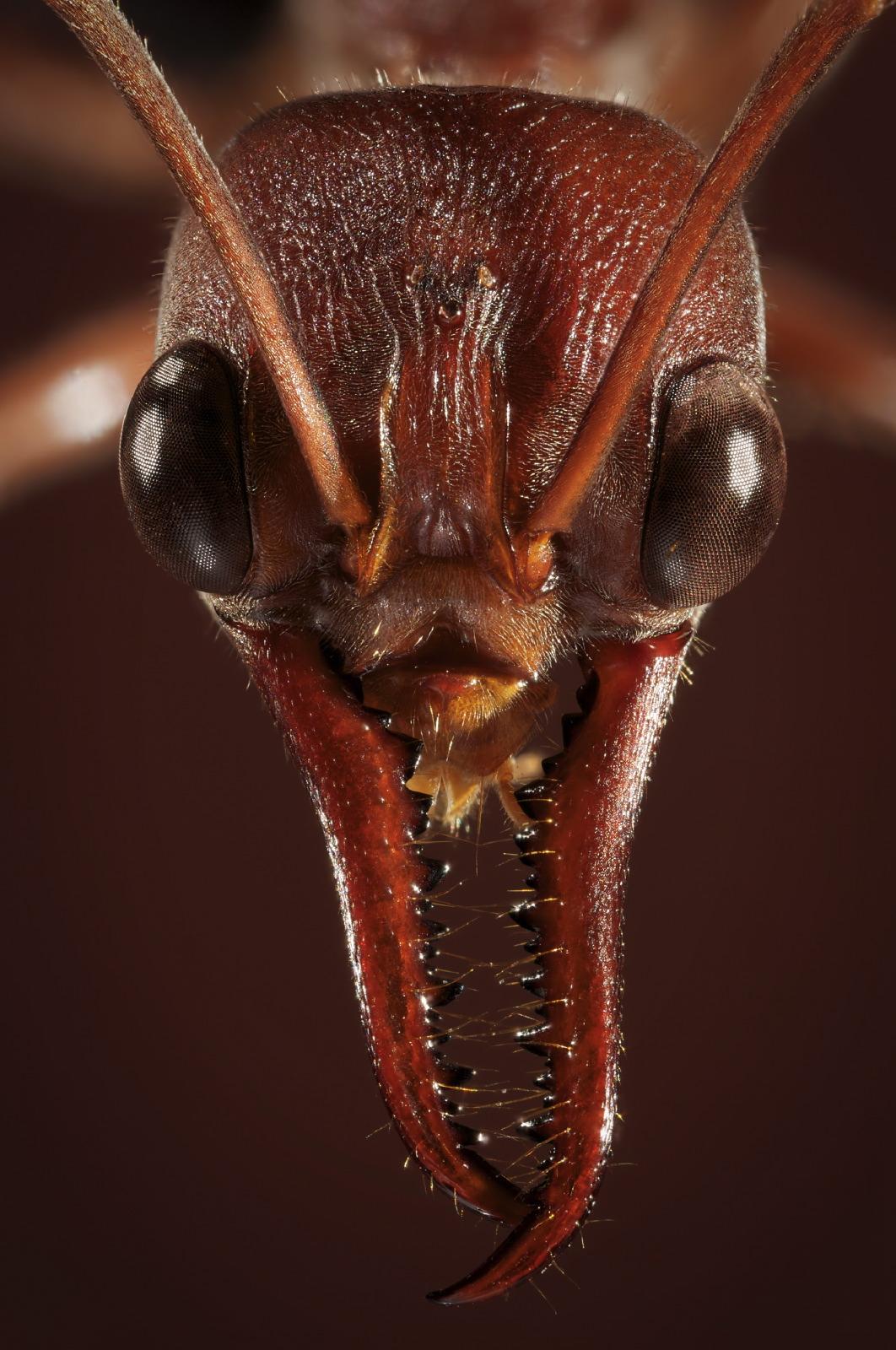 Myrmecia ant portrait close-up