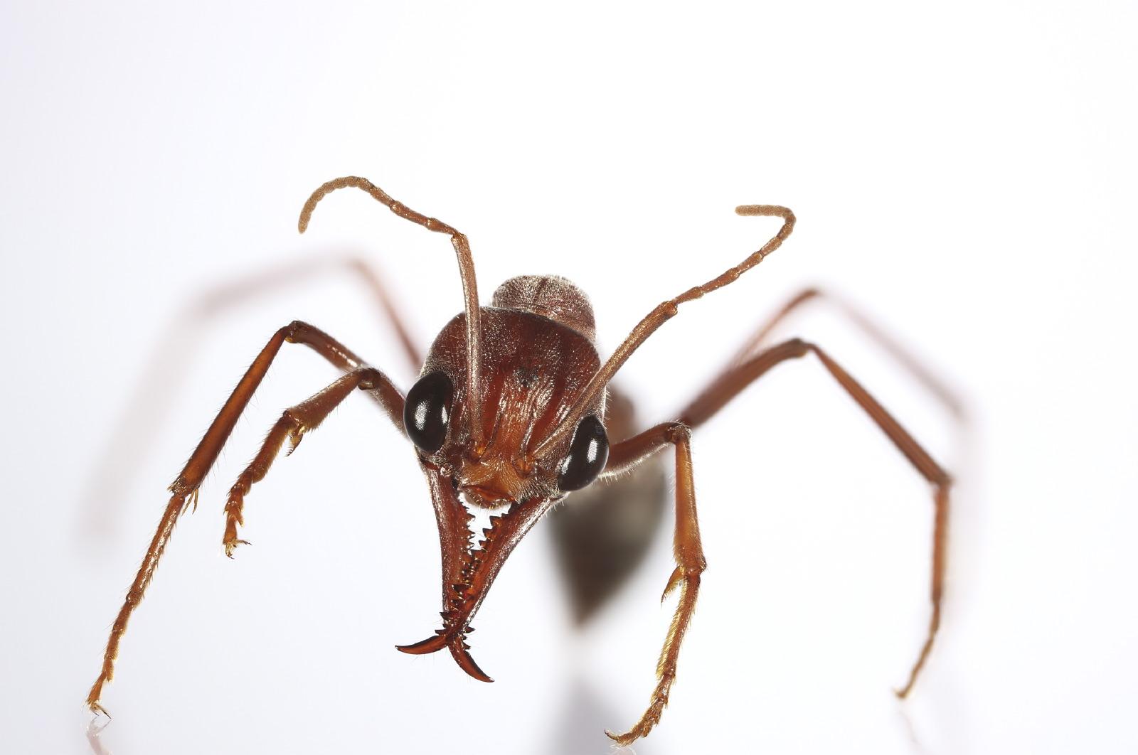 Myrmecia ant full body