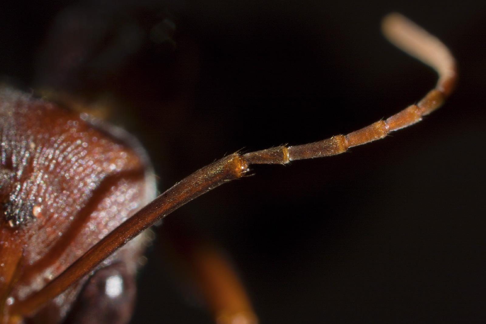Myrmecia ant mosaic detail antenna
