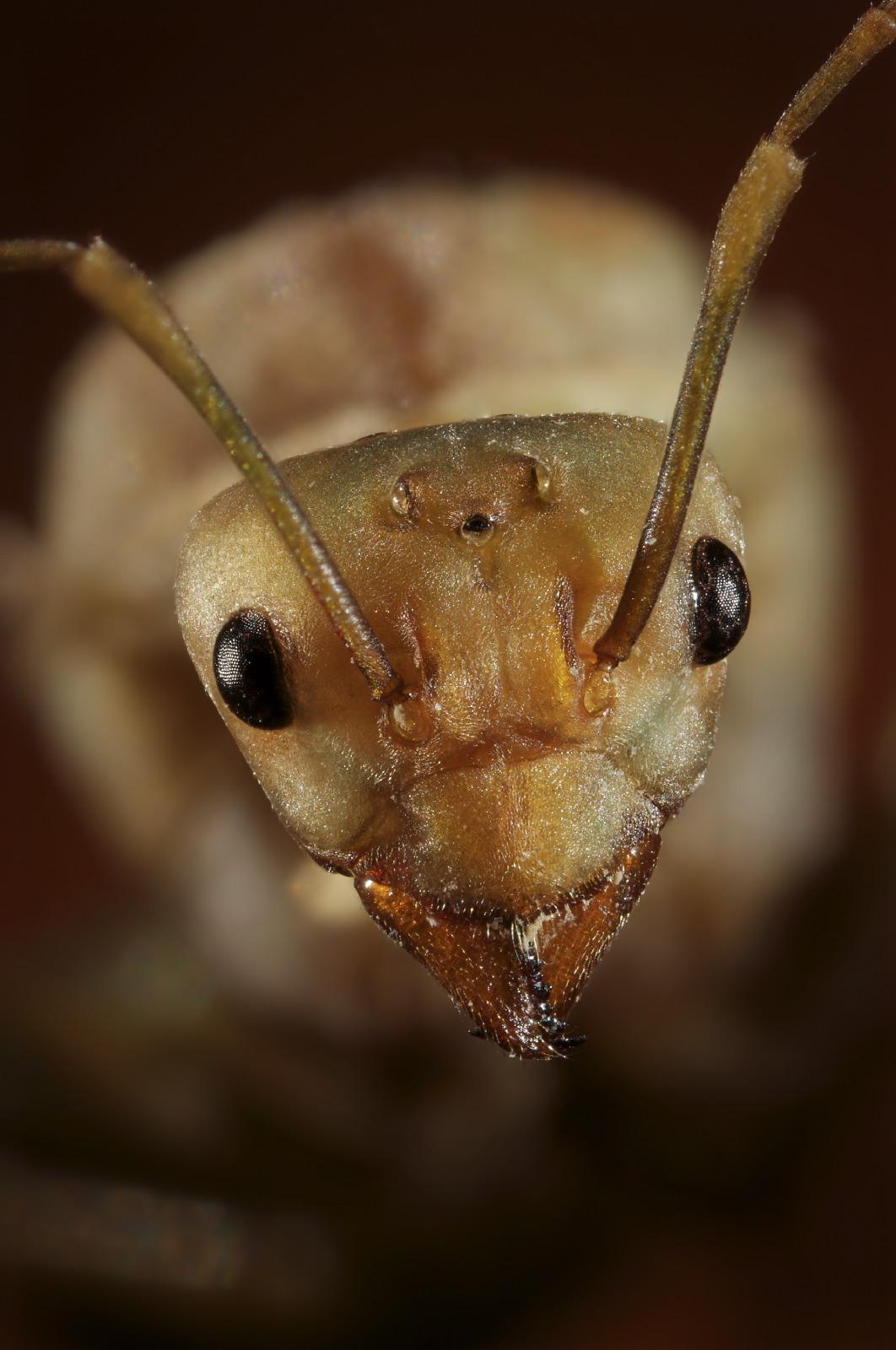 Oecophylla ant portrait