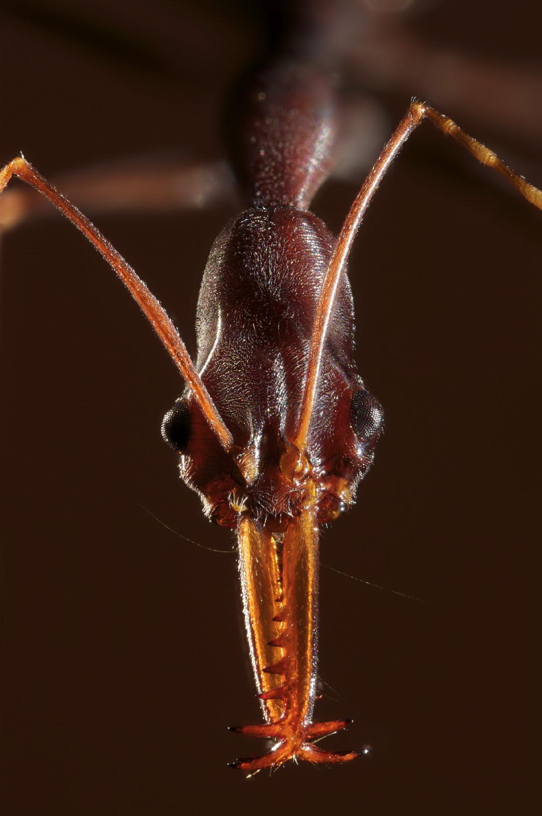 Odonthomachus ant portrait